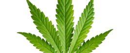 Cannabis-Blatt