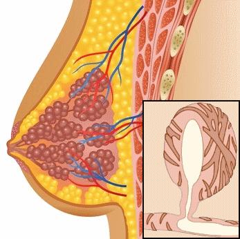 Skizze des inneren Aufbaus der Brust mit Milchgängen, Milchdrüsen und der Alveolen.
